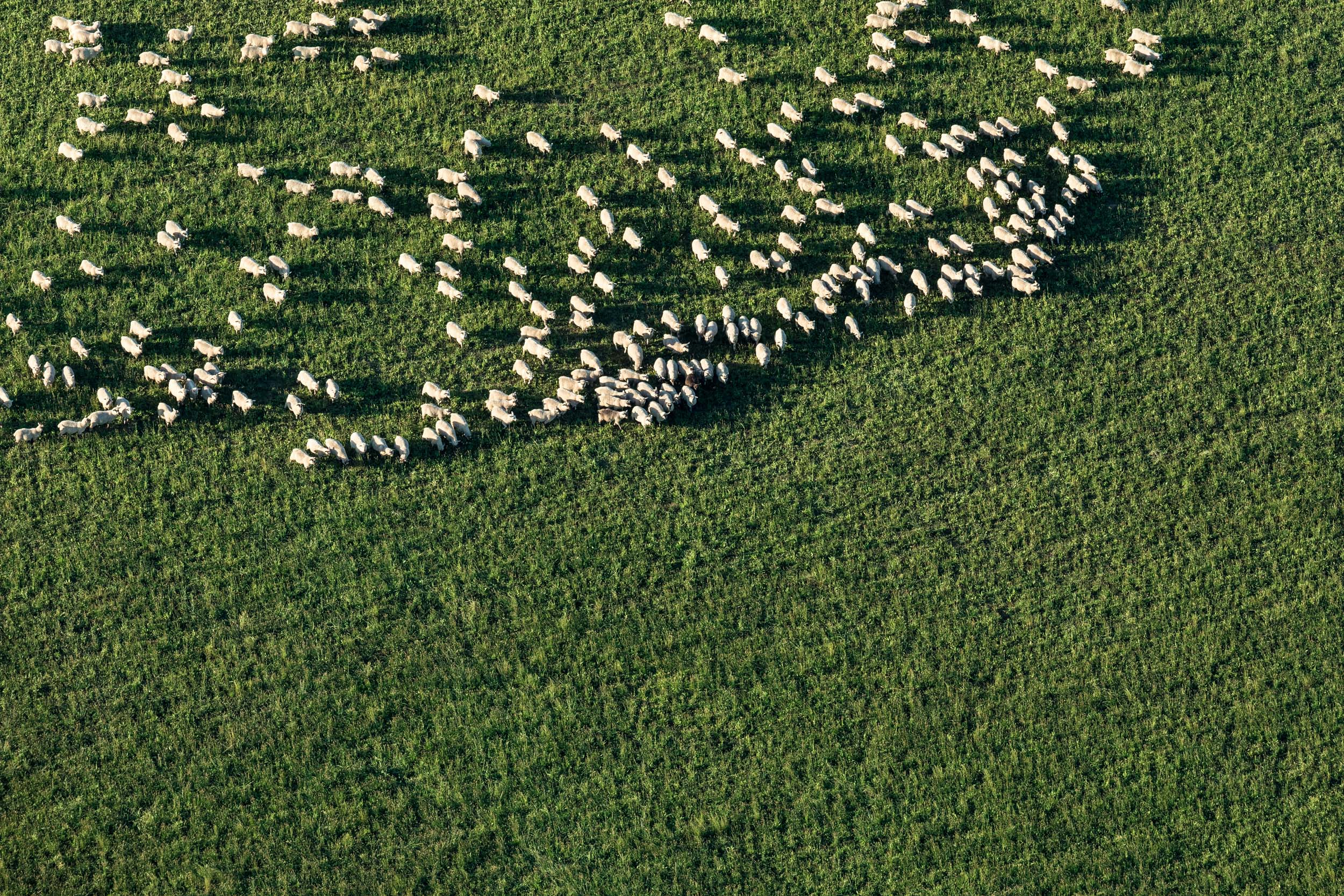 Advertising photography of sheep in a paddock for argricultural company